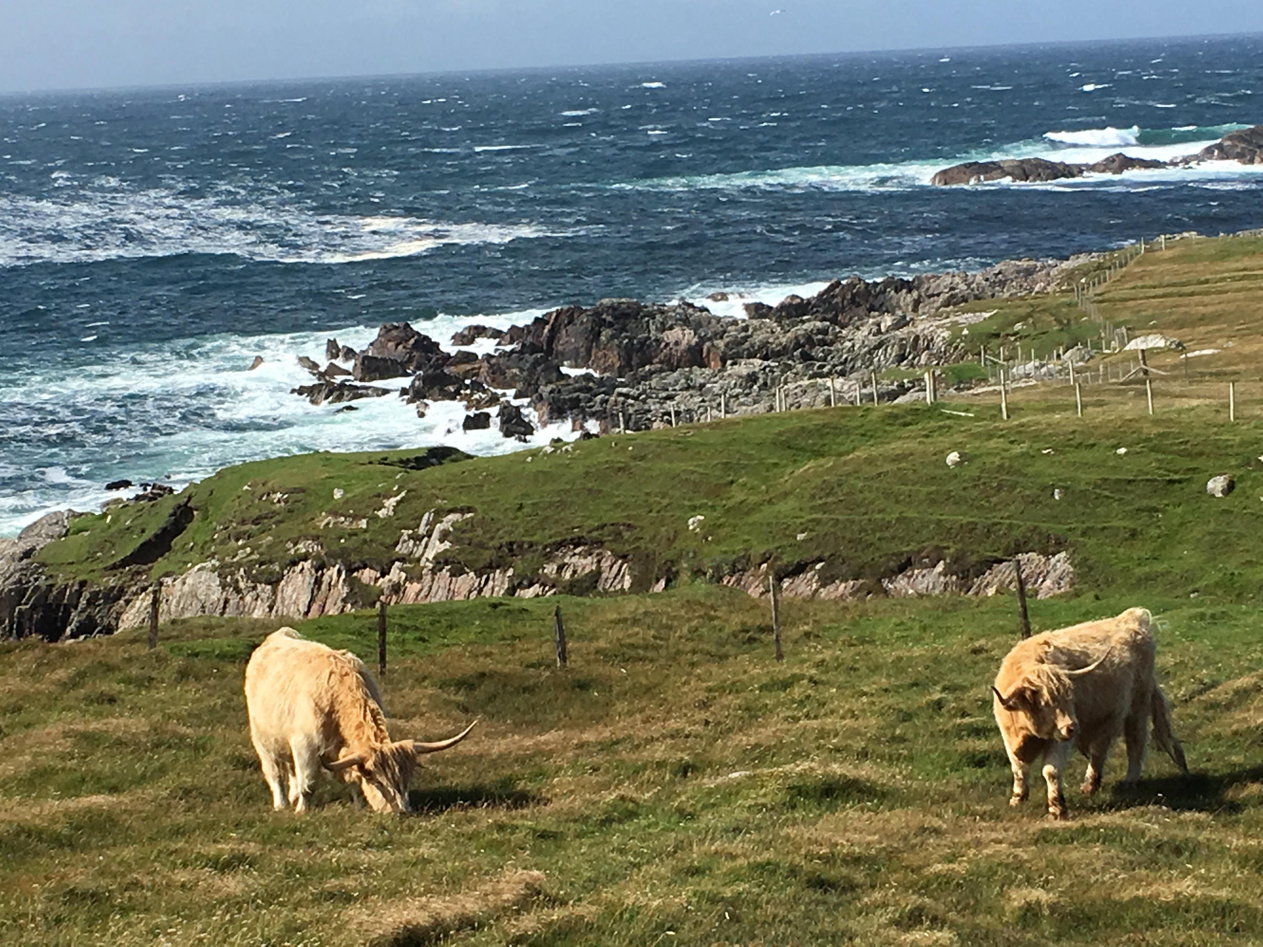 Fotospots in Schottland - Cattles auf der Isle of Harris